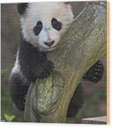 Giant Panda Cub In Tree Wood Print