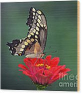 Giant Swallowtail Wood Print