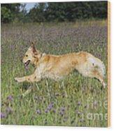 Golden Retriever Running Wood Print