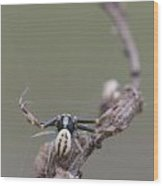 Goldenrod Crab Spider Male  Wood Print