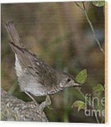 Gray-cheeked Thrush Wood Print