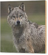 Gray Wolf  North America Wood Print