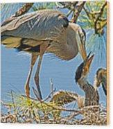 Great Blue Heron Adult Feeding Nestling Wood Print