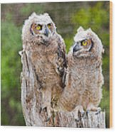 Great Horned Owlets Wood Print