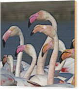 Greater Flamingos, France Wood Print