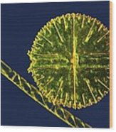Green Algae, Light Micrograph Wood Print by Science Photo Library