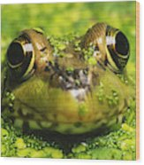 Green Frog Hiding In Duckweed Wood Print