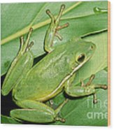 Green Tree Frog Wood Print