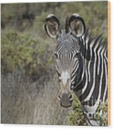 Grevys Zebra Stallion Wood Print