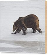 Grizzly Bear Walking In Snow Wood Print