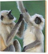 Hanuman Langurs Grooming India Wood Print