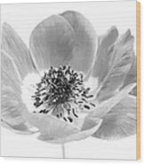 Harmony Scarlet Anemone Wood Print