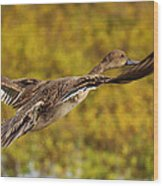 Hen Northern Pintail In Flight  Wood Print