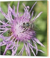 Honeybee On Ironweed Wood Print