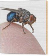 Human Botfly Belize Wood Print