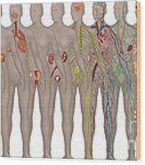 Human Systems In The Female Anatomy Wood Print