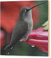 Hummingbird Anna's On Perch Wood Print