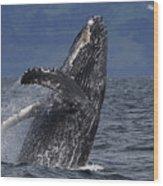 Humpback Whale Breaching Prince William Wood Print