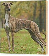 Hungarian Greyhound Wood Print