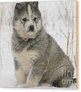 Husky Dog Puppy Wood Print