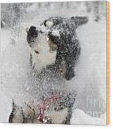 Husky Dogs Pull A Sledge  Wood Print