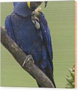 Hyacinth Macaw Eating Palm Nut Wood Print