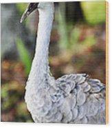 Juvenile Sandhill Crane Grus Canadensis Pratensis II Usa Wood Print