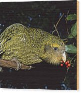 Kakapo Feeding On Supplejack Berries Wood Print