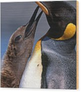 King Penguin With Chick Wood Print by Art Wolfe