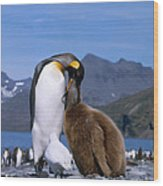 King Penguins Aptenodytes Patagonicus Wood Print by Hans Reinhard