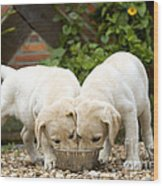 Labrador Puppies Eating Wood Print