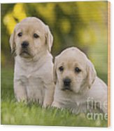 Labrador Puppies Wood Print