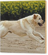 Labrador Retriever Dog Wood Print