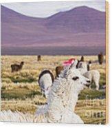 Lama On The Laguna Colorada In Bolivia Wood Print