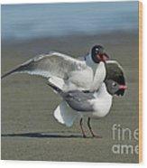 Laughing Gulls Wood Print
