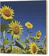 Laval, Quebec, Canada Sunflowers Wood Print