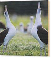Laysan Albatross Courtship Dance Hawaii Wood Print