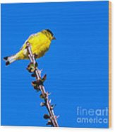 Lesser Goldfinch Wood Print