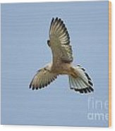 Lesser Kestrel Falco Naumanni Wood Print