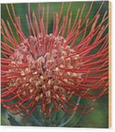Leucospermum - Pincushion Protea - Tropical Sunburst Protea Flower Hawaii Wood Print
