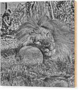 Lion In Repose Wood Print