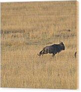 Lion On The Hunt Wood Print