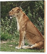 Lioness On The Masai Mara  Wood Print