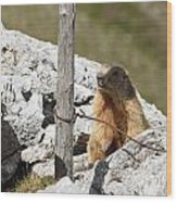 Little Marmot Wood Print
