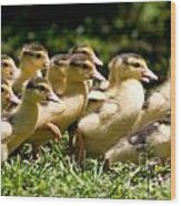 Yellow Muscovy Duck Ducklings Running In Hurry  Wood Print