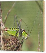 Long-horned Katydid Tettigonid Wood Print