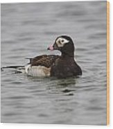 Longtailed Duck Wood Print