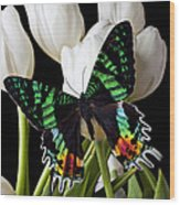 Madagascar Butterfly Wood Print