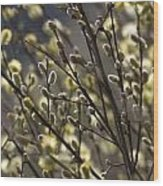 male catkins of willow species in the National Park Dwingelderveld Netherlands Wood Print