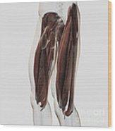 Male Muscle Anatomy Of The Human Legs Wood Print